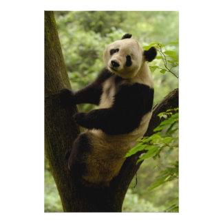 Giant panda Ailuropoda melanoleuca) Family: 5 Photo Art