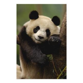 Giant panda Ailuropoda melanoleuca) Family: 6 Photo Print