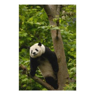 Giant panda Ailuropoda melanoleuca) Family: 8 Photo Art