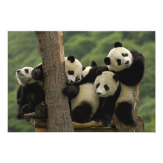Giant panda babies Ailuropoda melanoleuca) 8 Photographic Print