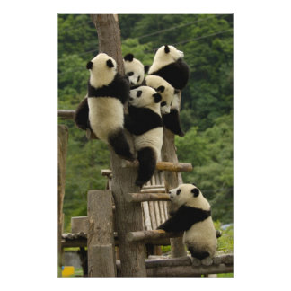 Giant panda babies Ailuropoda melanoleuca) 9 Art Photo
