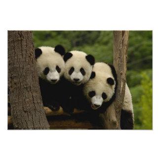 Giant panda babies Ailuropoda melanoleuca) Photo Art
