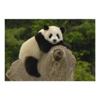 Giant panda baby Ailuropoda melanoleuca) 9 Photo Art