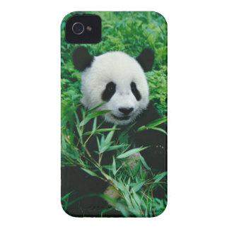 Giant Panda cub eats bamboo in the bush, iPhone 4 Case-Mate Cases