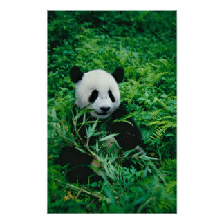 Giant Panda cub eats bamboo in the bush, Poster