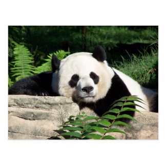 Giant Panda Napping Postcard