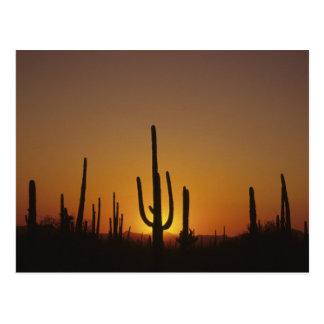 Giant saguaro cactus Cereus giganteus), 2 Postcard