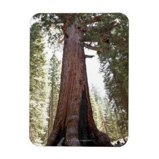 Giant Sequoia in Mariposa Grove in Yosemite Magnet