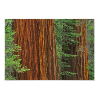 Giant Sequoia trunks in forest, Yosemite Photo Print