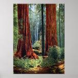 Giant Sequoia Trunks Poster