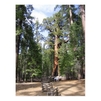 Giant Sequoia, Yosemite National Park Postcard