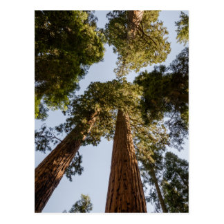 Giant Sequoias in Sequoia National Park Postcard