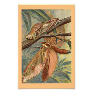 Giant Swift Moth Vintage 1904 Print Photo Art