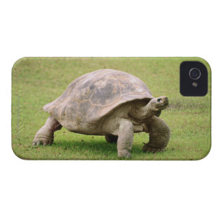 Giant Tortoise walking on grass iPhone 4 Case-Mate Case