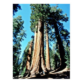 Giant Trees - Sequoia National Forest Postcard