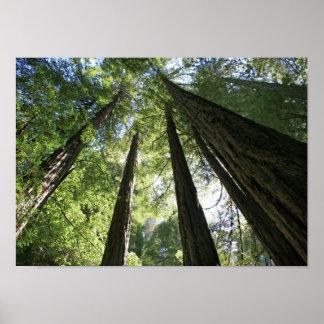 """Giants"", Muir Woods Poster"
