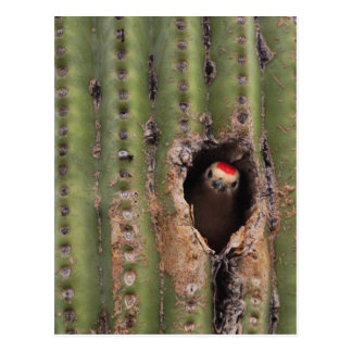 Gila Woodpecker in Saguaro Postcard