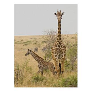 Girafes de Maasai errant à travers le Maasai Mara Cartes Postales