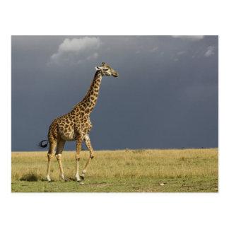 Giraffe and stormy sky, Giraffa camelopardalis Postcard