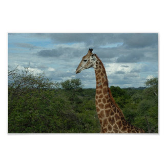 Giraffe at Dusk Poster
