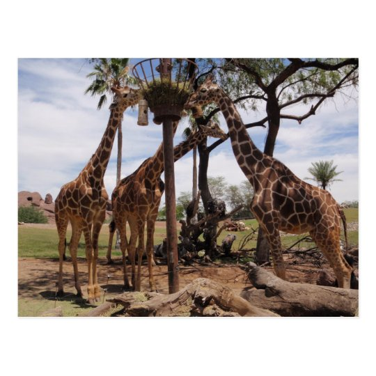 Giraffe Attack Postcard