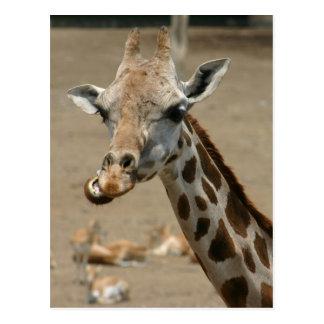 Giraffe Chewing Postcard