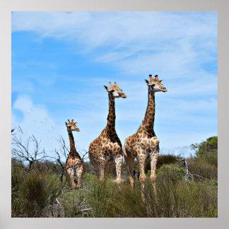 Giraffe Family On Grassy Hilltop Poster