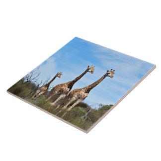 Giraffe Family On Grassy Hilltop Tile