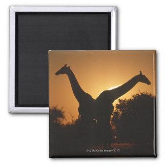 Giraffe (Giraffa camelopardalis) Pair Magnet