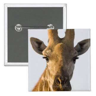 Giraffe (Giraffa camelopardalis) portrait, Imire Pinback Button