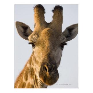 Giraffe (Giraffa camelopardalis) portrait Postcard