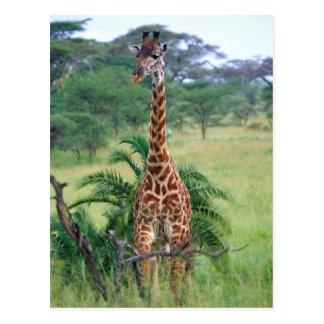 Giraffe, Giraffa camelopardalis, Tanzania Africa Postcard