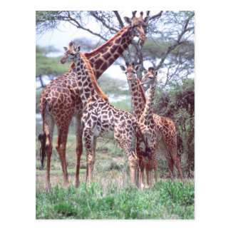 Giraffe Group or Herd w/ Young, Giraffa Postcard