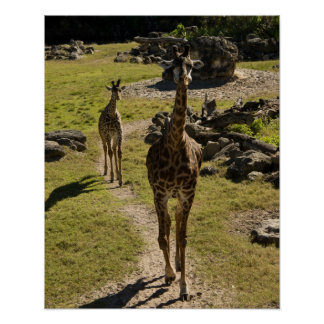 Giraffe Mom and Baby Calf Poster