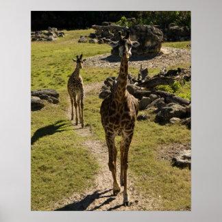 Giraffe Mom and Baby Calf Poster