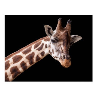 Giraffe Portrait - Postcard