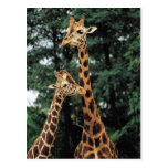 Giraffe postards postcard