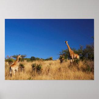 Giraffes (Giraffa Camelopardalis) In Veld Poster