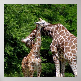 Giraffes Hugging Poster