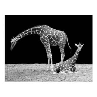 Giraffes in Black and White Postcard