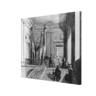 Giraffes on the staircase in the British Gallery Wrap Canvas