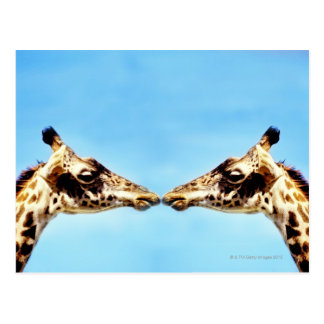 Giraffes touching noses postcard
