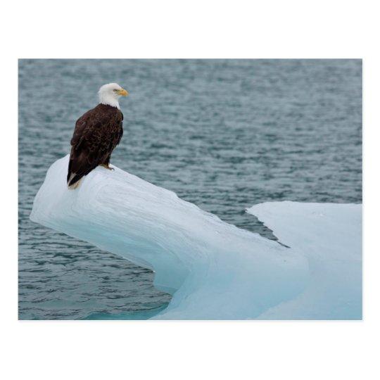 Glacier Bay National Park Bald Eagle Postcard