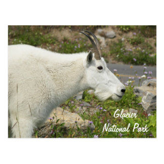 Glacier National Park Mountain Goat Travel Postcard
