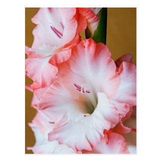 Gladiolus Postcard