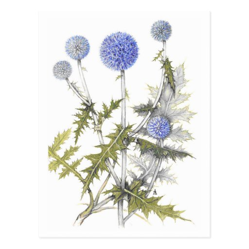 Globe Thistle Collection Post Card