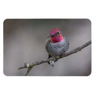 Gloomy Anna's Hummingbird Large Photo Magnet