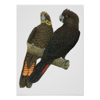 Glossy Black Cockatoo Pair Poster