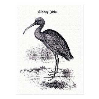 """""""Glossy Ibis"""" Vintage Illustration Postcard"""