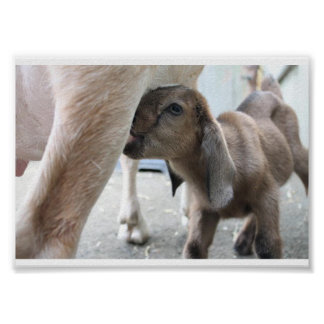 Goat Baby Animal Poster Nursing Feeding